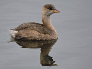 little-grebe-dh