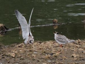 c-tern-fledglings
