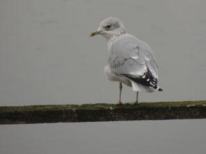 common-gull