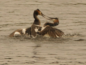 g-c-grebes-fight