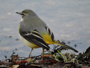 grey-wagtail-bsl