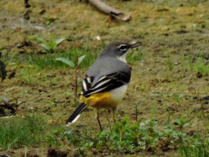 grey-wagtail-gse