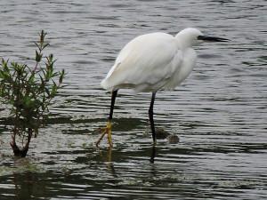 little-egret-lfgp