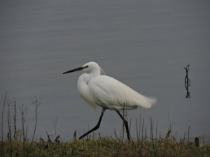 little egret lfgp