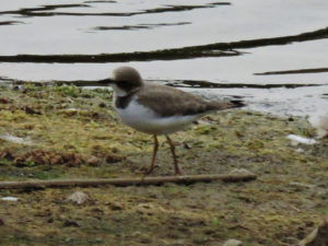 little-ringed-plover-gse