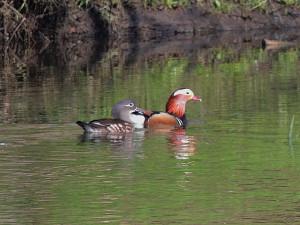 mandarin-pair