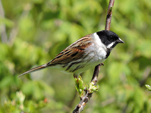 reed-bunting-dh