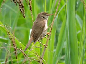 reed-warbler-lavells