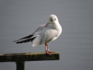 ringed gull