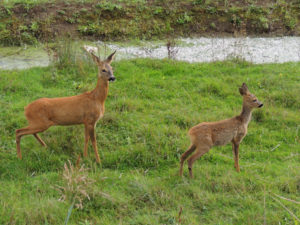 roe-deer-and-fawn-s