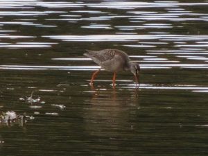 spotted-redshank-juv