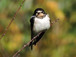 swallow-18-10-16