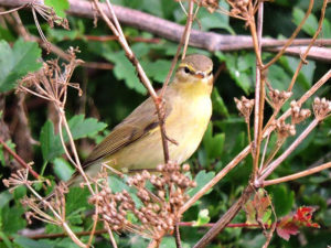 willow-warbler-gse