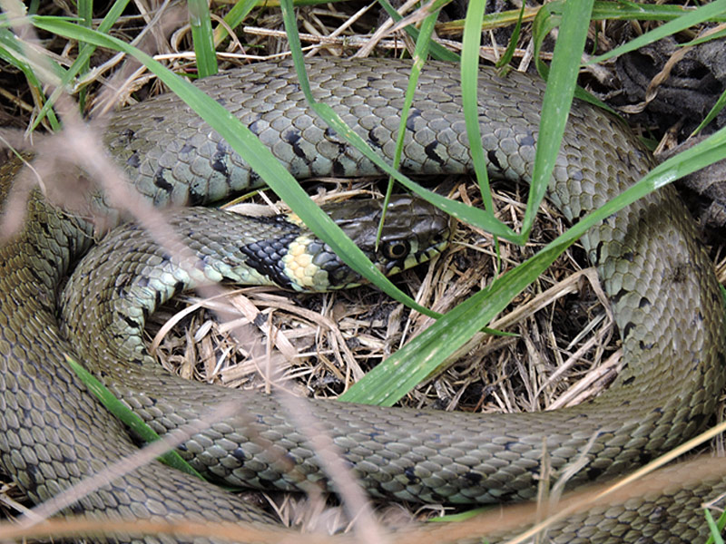 OtherWL-grass-snake-gse