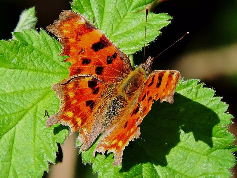 BFLY-comma-m-ge