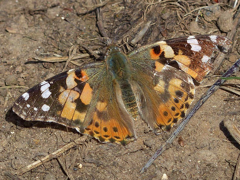 BFLY-painted-lady-lgl