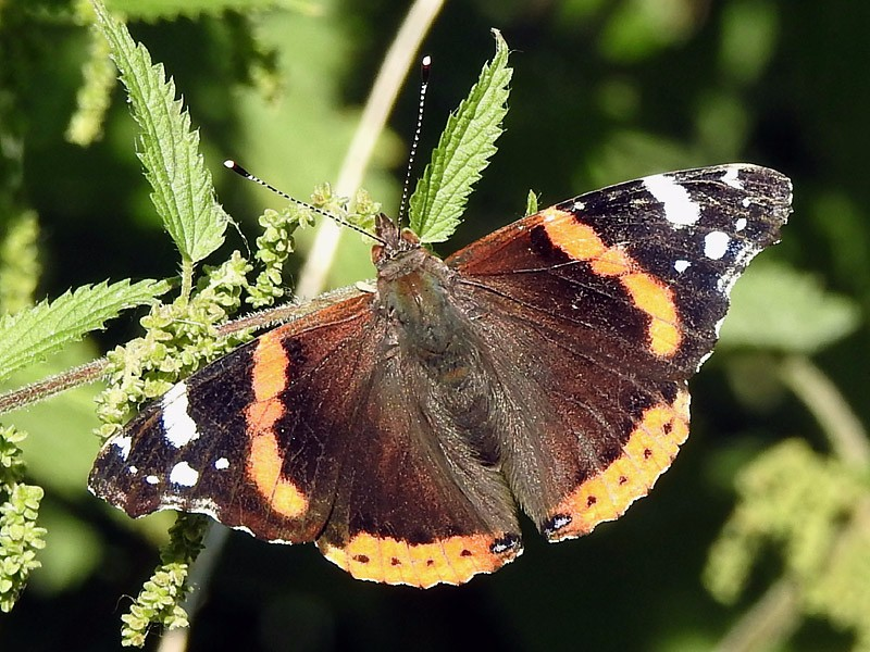 BFLY-red-admiral-lgl