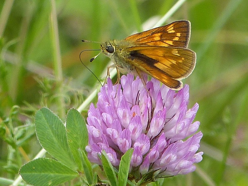 BFLY-skipper-on-clover-lgl