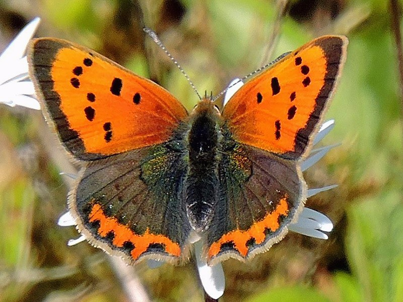 BFLY-small-copper-ge