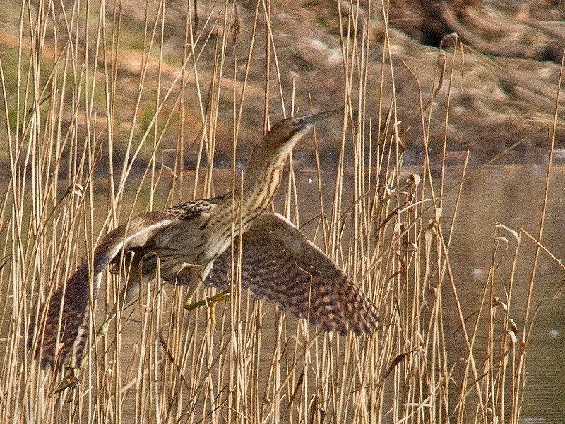 Bird Bittern – TH