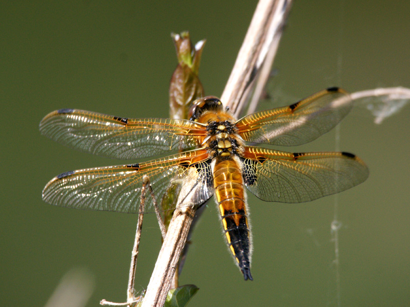 DFLY-4-spotted-chaser-ar