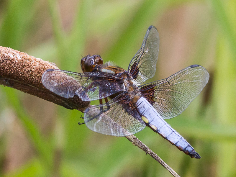 DFLY Broad-bodied Chaser m TJ