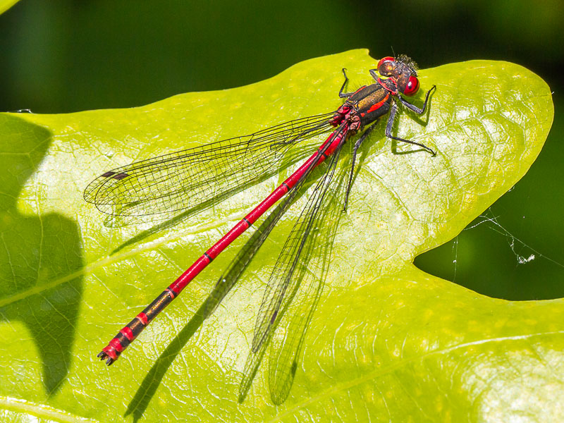 DFLY Large Red Damselfly TJ