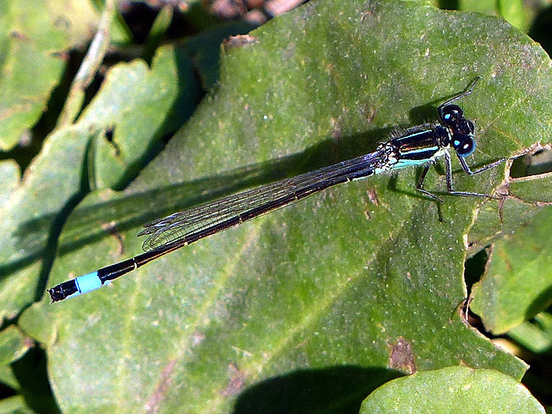 DFLY blue-tailed-damselfly-lgl