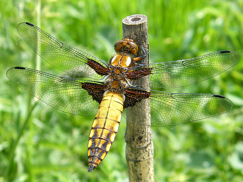 DFLY broad-bodied-chaser-lgl