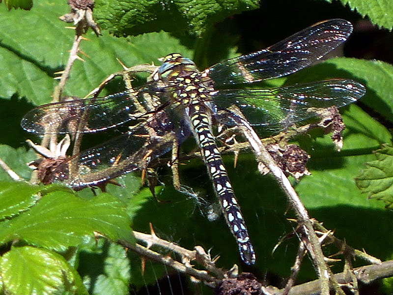 DFLY hairy-dragonfly-close-lgl