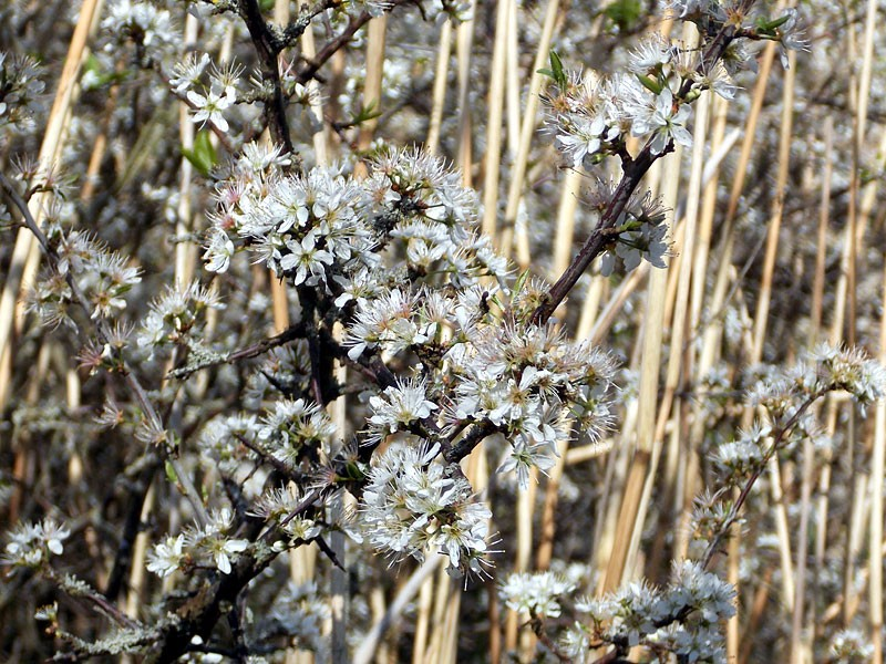 Flora-blackthorn-ta