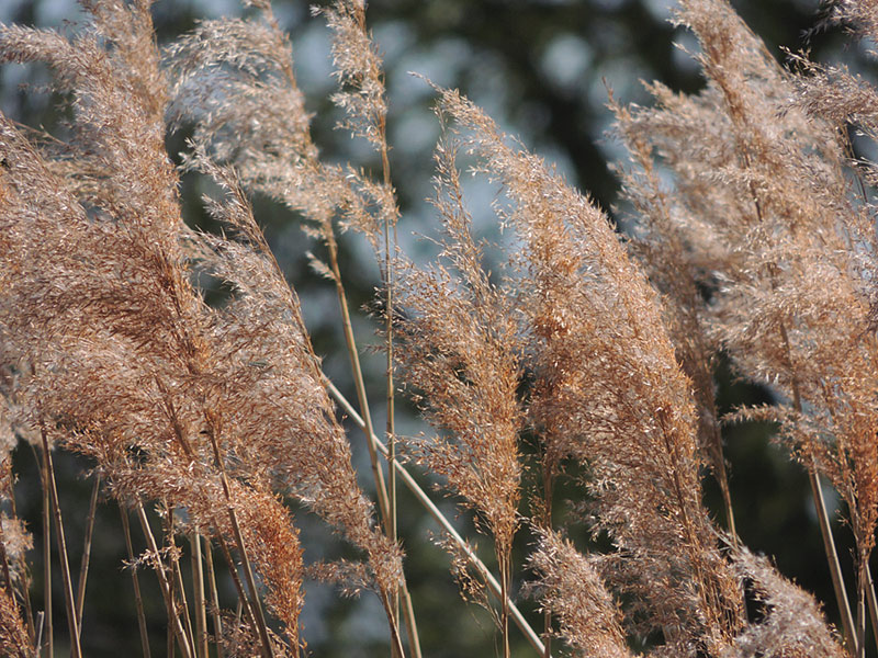 Flora-spring-phragmites-rm