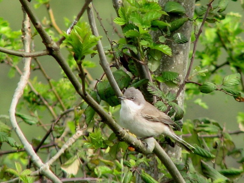 Lesser Whitethroat RReedman