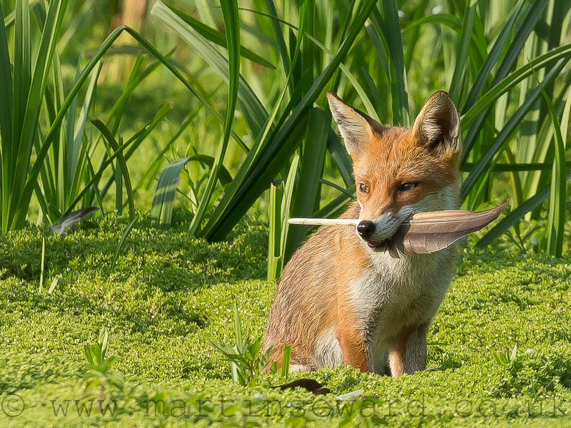Mammals-fox-cub-ms