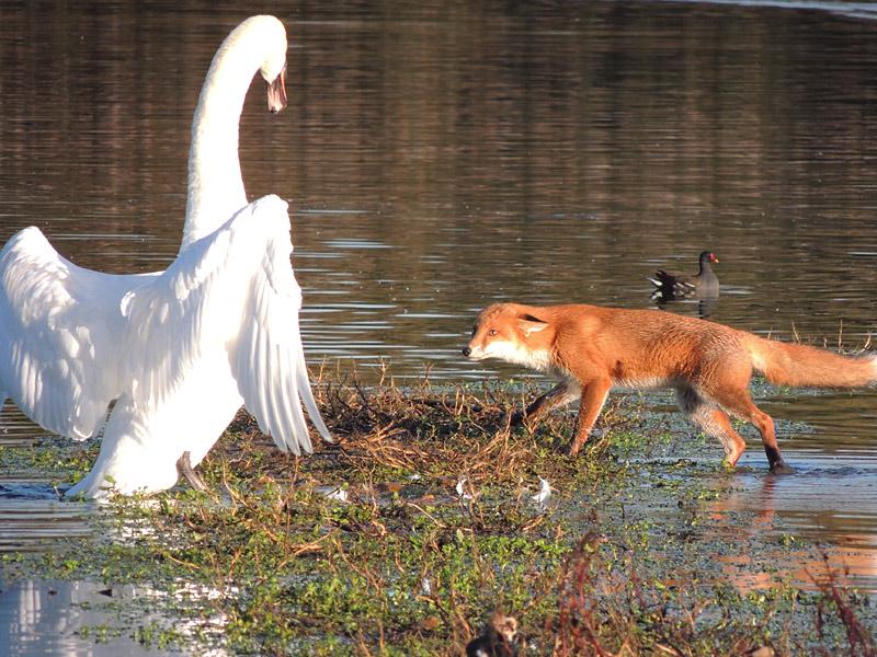Mammals-fox-vs-swan-rm