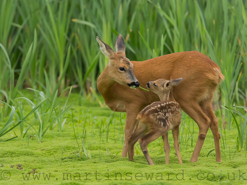Mammals-roe-deer-and-fawn-ms