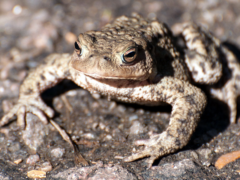 Other-WL-common-toad-te