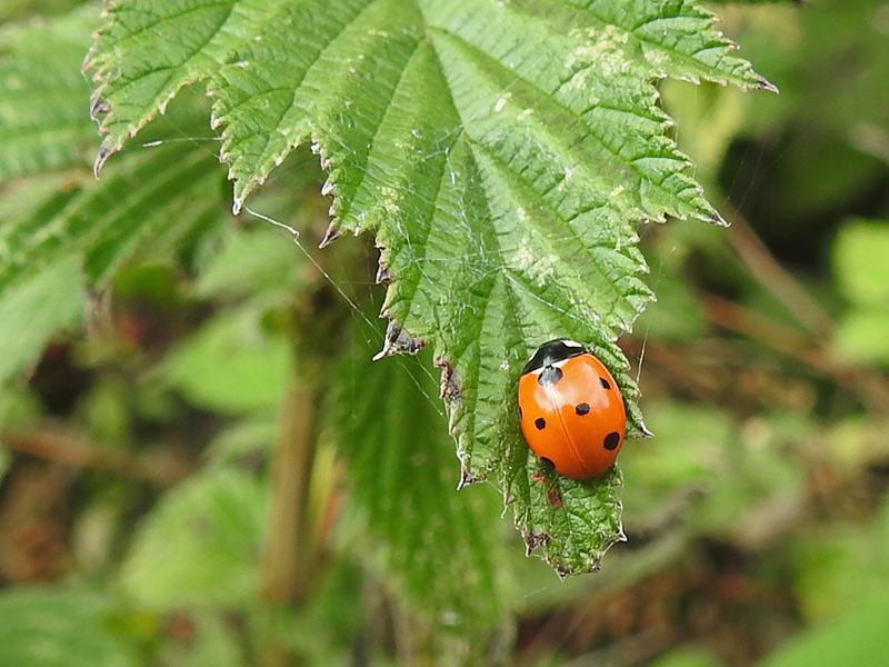 OtherWL-ladybird-lgl