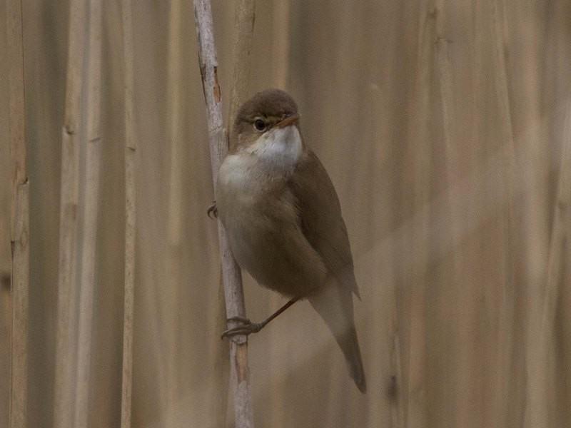 reed warbler Philip Hayman