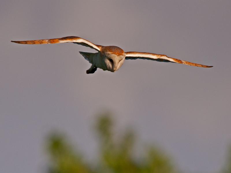 Birds-barn-owl-flight-mr