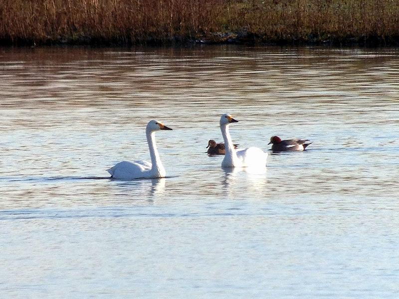 Birds-bewick-swans-fjc