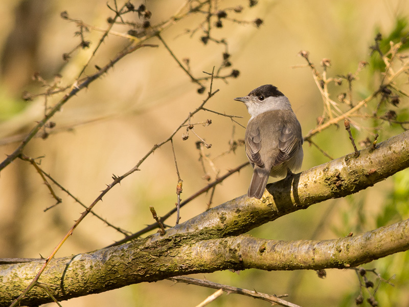 Birds-blackcap-sd