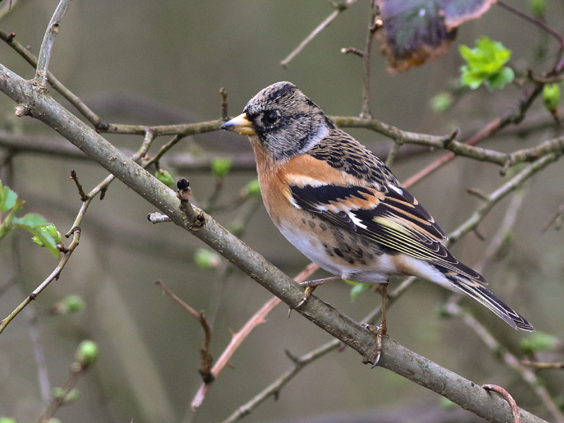 Birds-brambling-mw