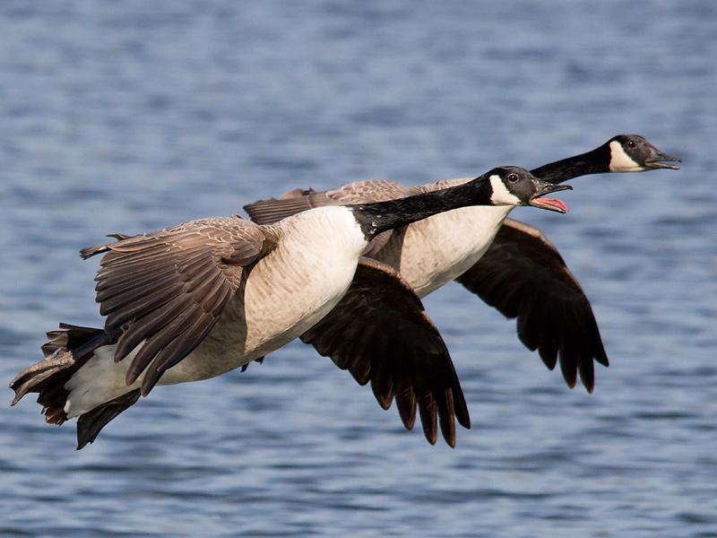 Birds-canada-geese-th