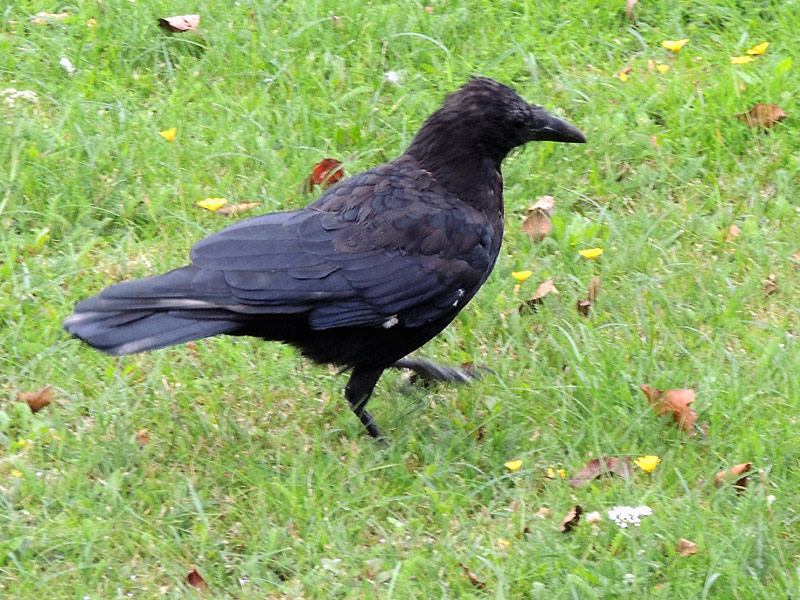 Birds-carrion-crow