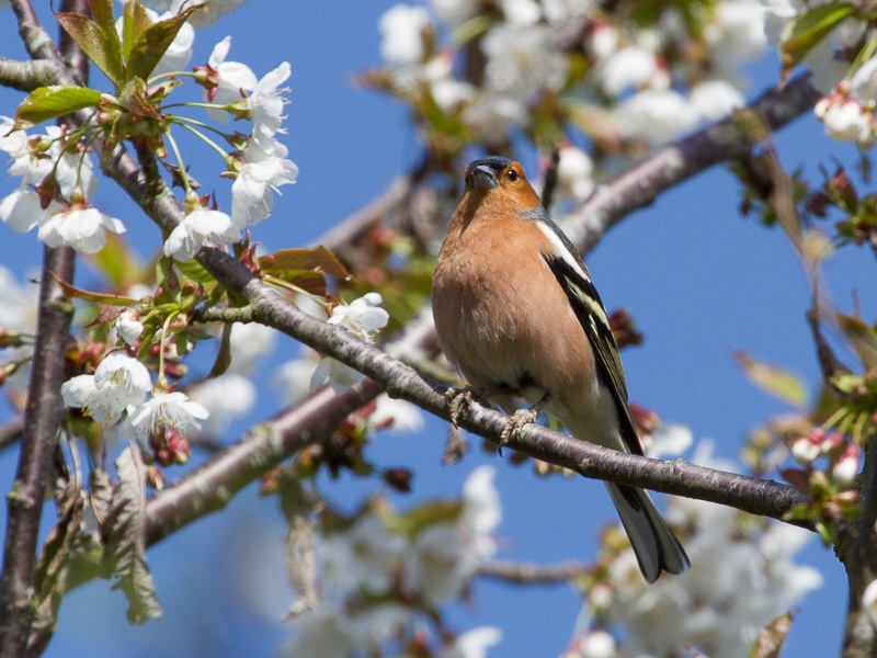 Birds-chaffinch-tj