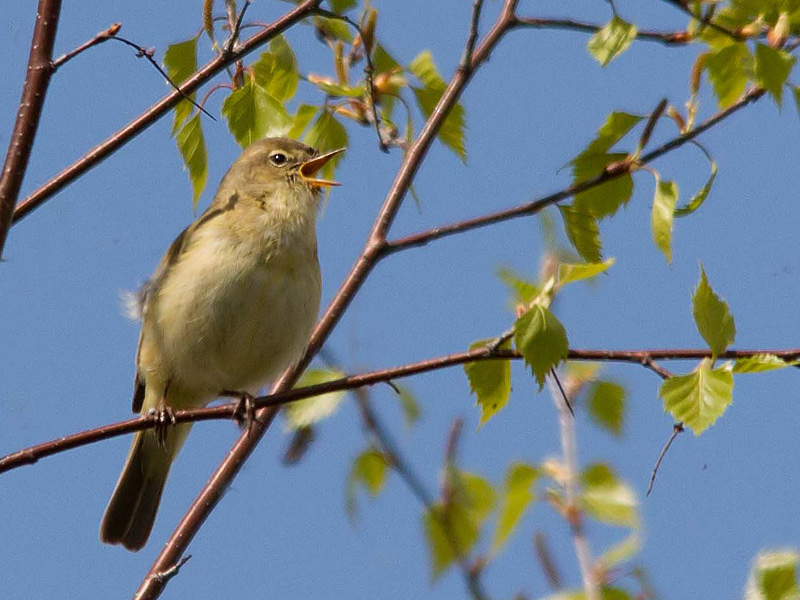 Birds-chiffchaff-th