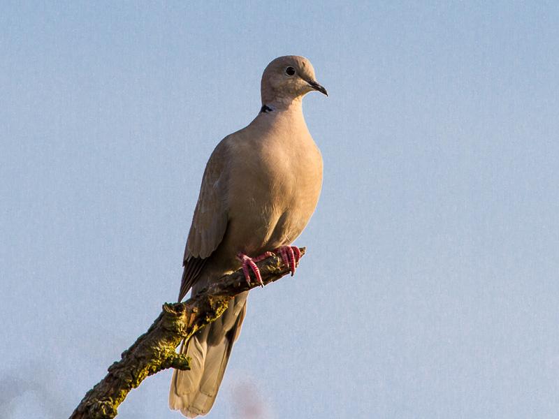 Birds-collared-dove-tj