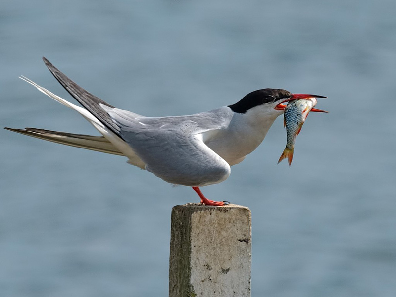 Birds-common-tern-ab