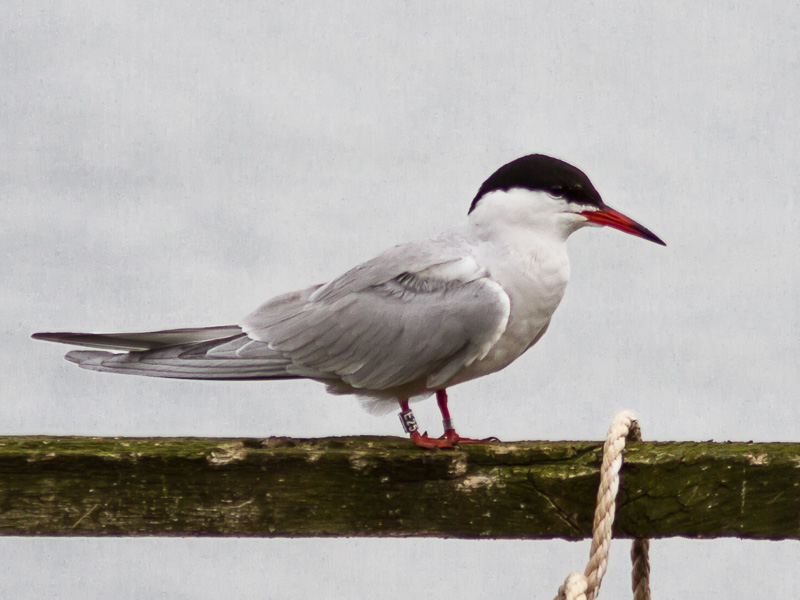 Birds-common-tern-tj